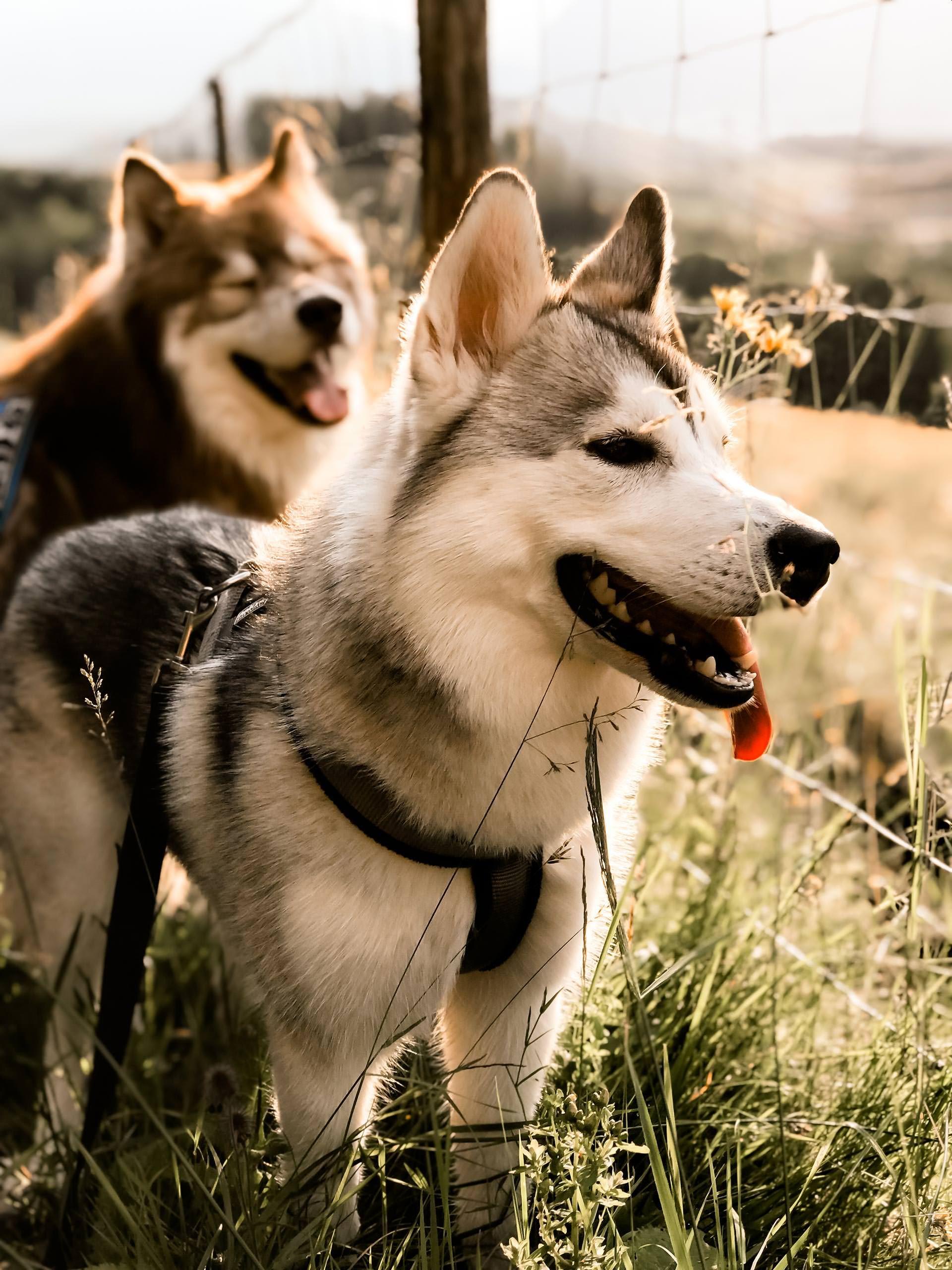 Unser Alltag Und Leben Mit Hund Und Welpe Sibirischer Husky Bgh1 Prufung Laufige Hundin Hunde Tipps Und Tricks Fur Den Sibirischer Husky Hunde Husky Welpen