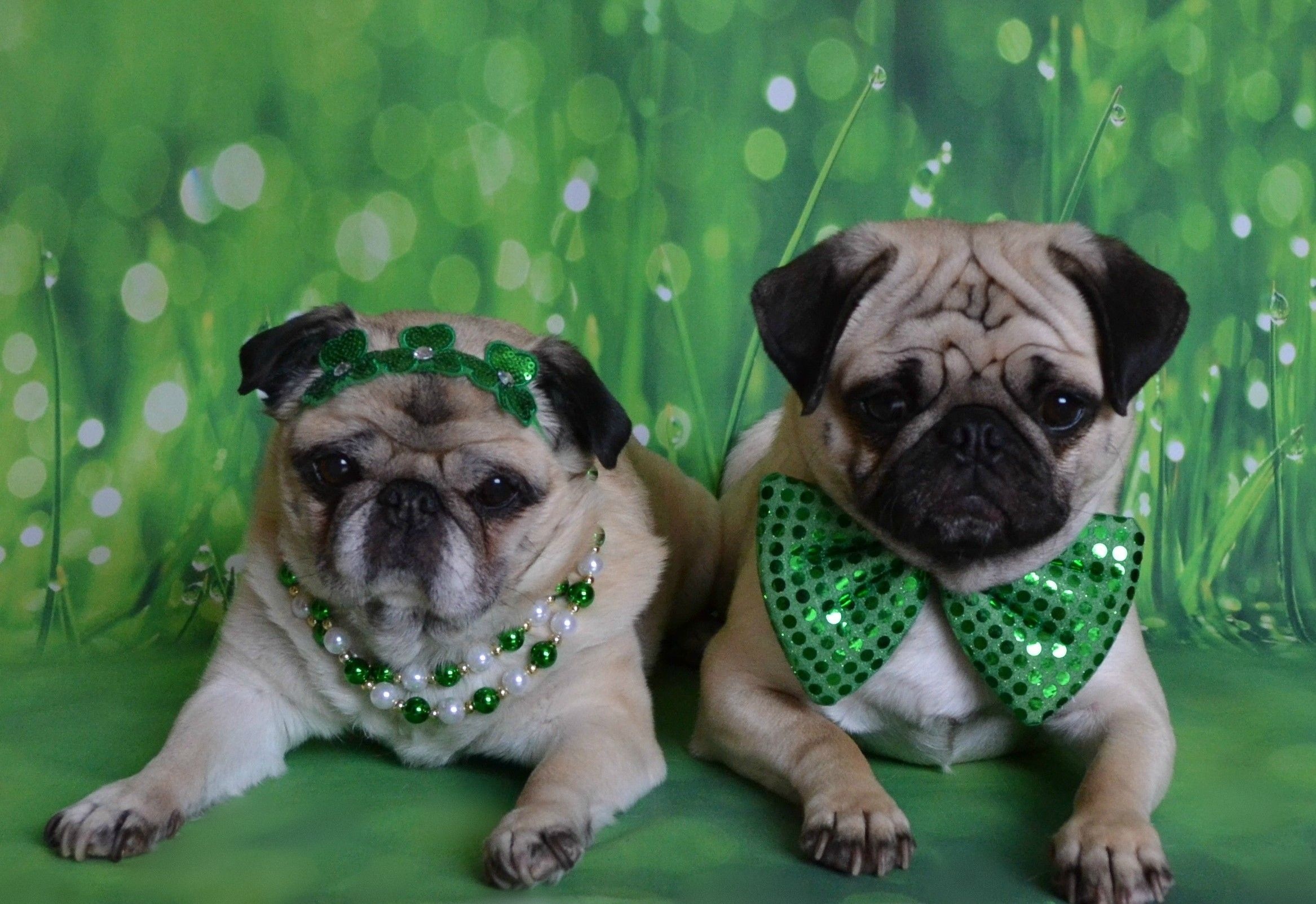 St Patrick S Day Pugs Bailey Puggins And Boo Lefou Pug Pugs