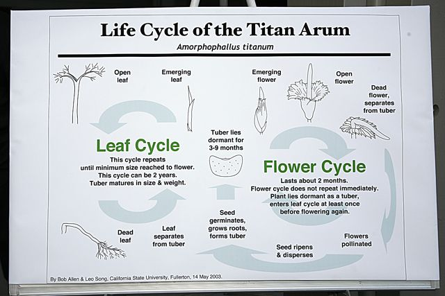 Corpse Flower Life Cycle Google Search Flower Life Cycle Corpse Flower Leaf Flowers