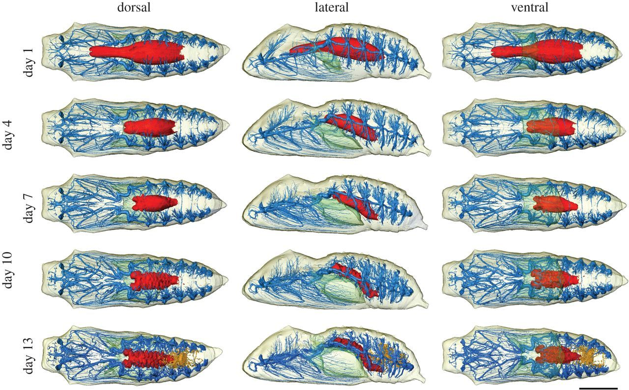 Metamorphosis revealed timelapse threedimensional