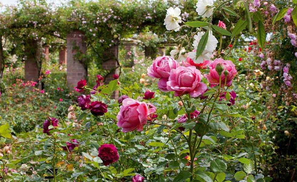 Discover how to create a romantic rose garden filled with the ...