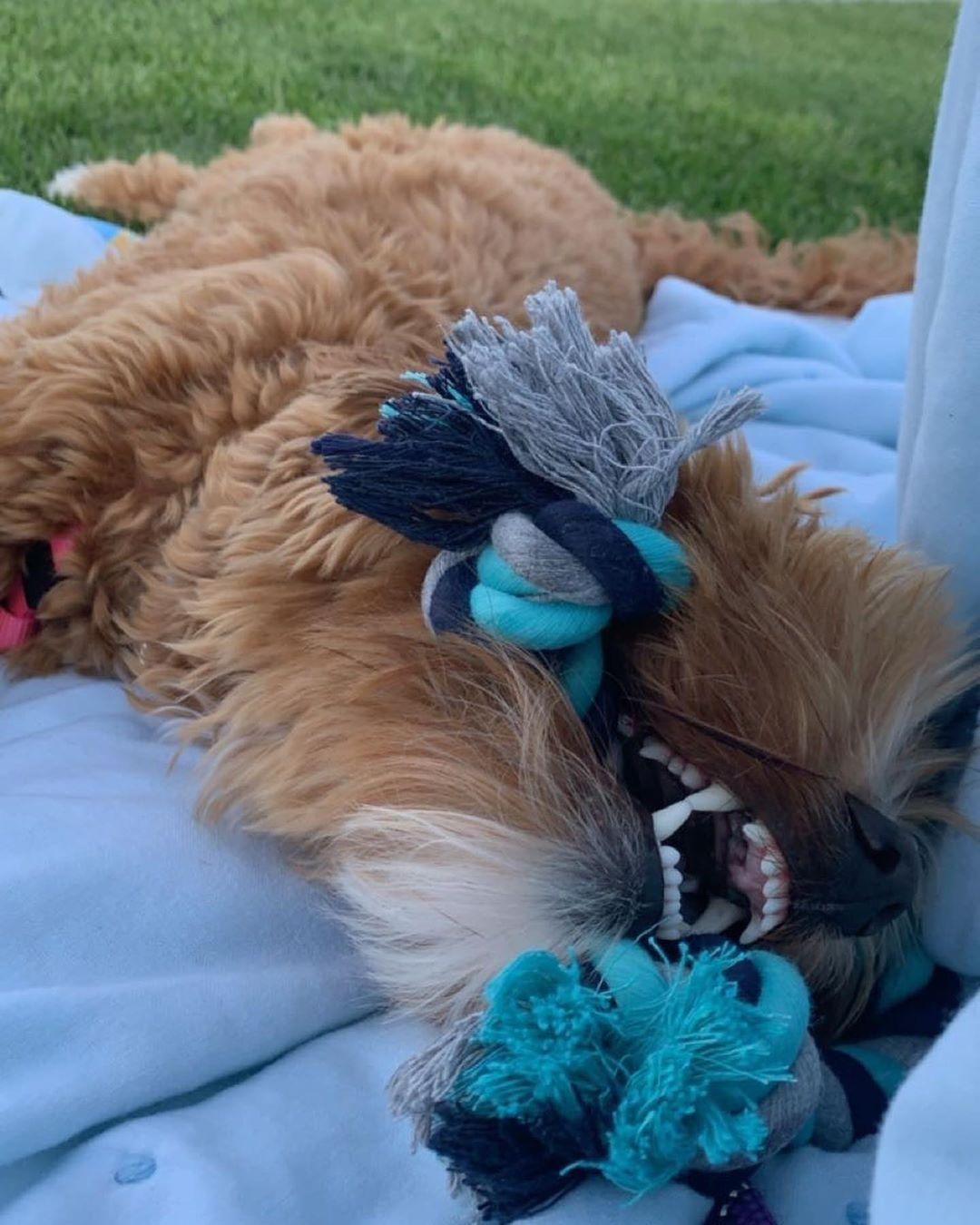 Loving on my new rope at the baseball game⚾️ #jerseykauf #toys #rope #playingpup #montanaskylabradoodles #australianlabradoodle #ilovemydog #puppy #jerseyrose