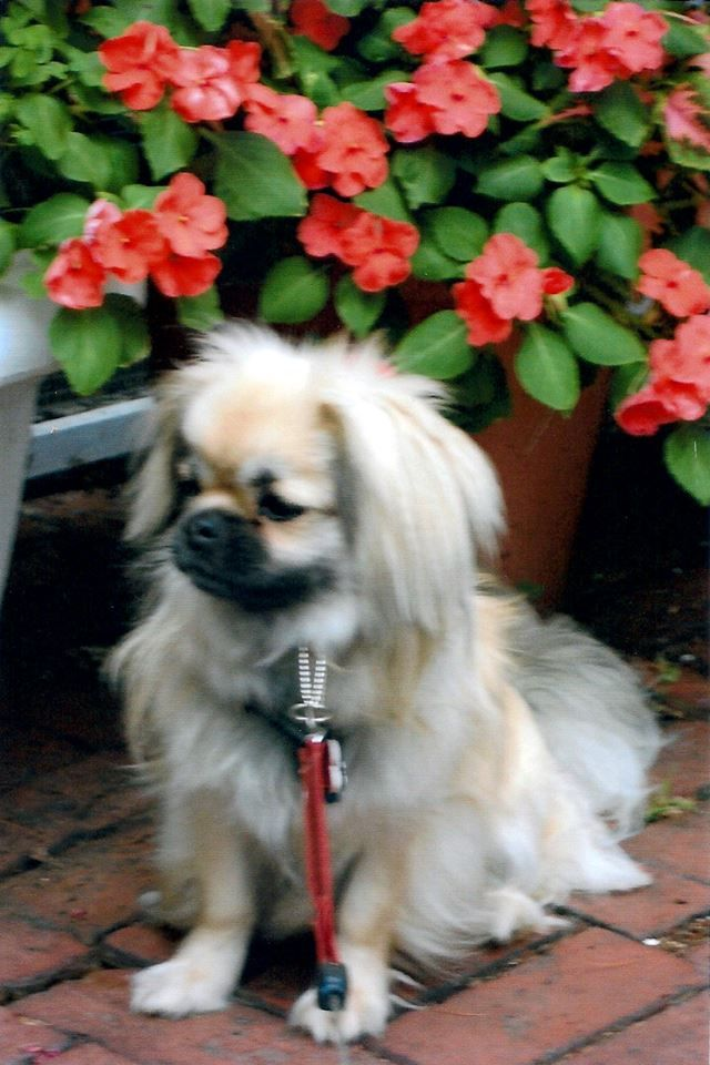Butternut Hill Tibetan Spaniel Beautiful With Images