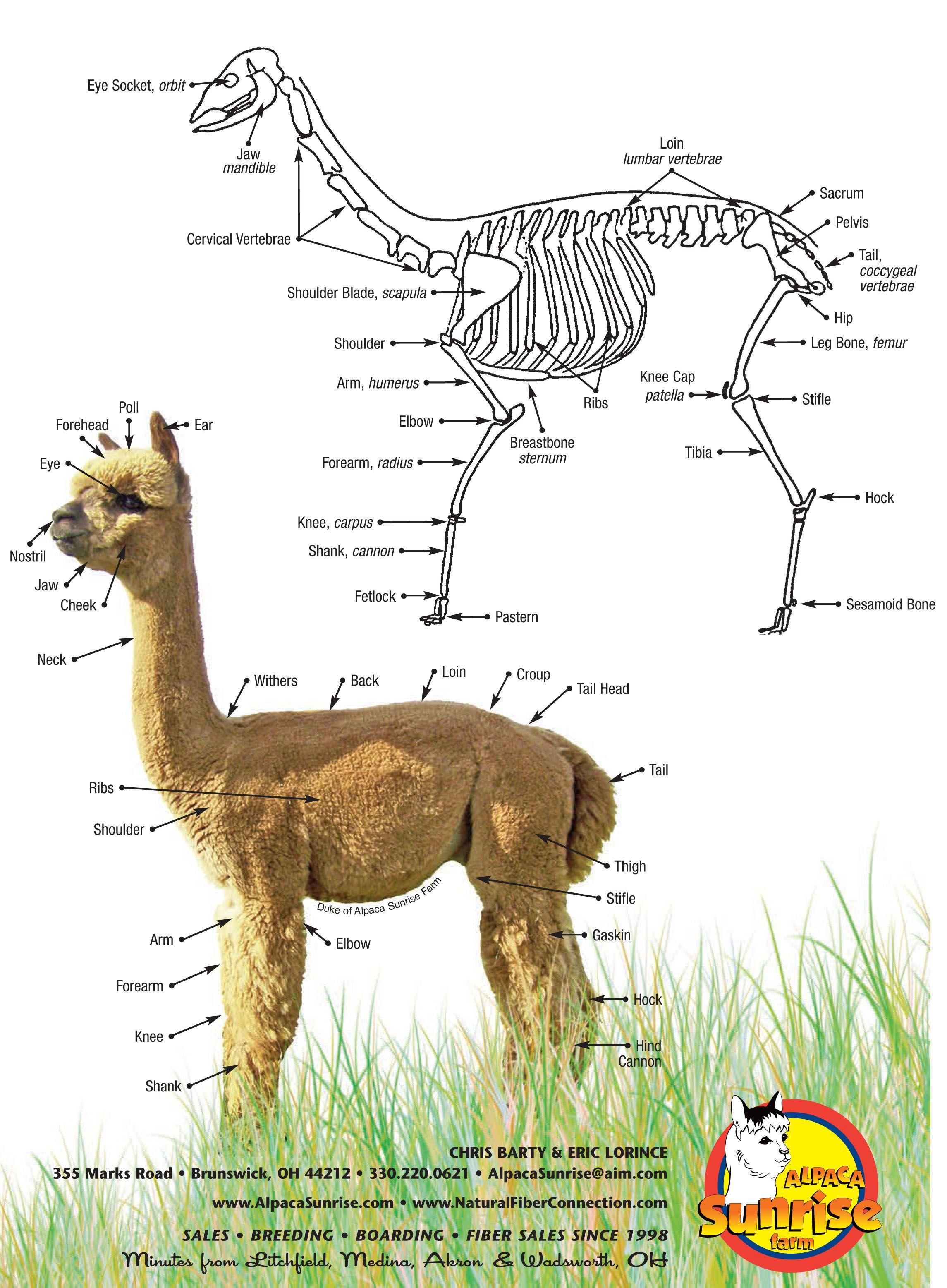 The Anatomy of an Alpaca. Alpaca Sunrise Farm is a full ...