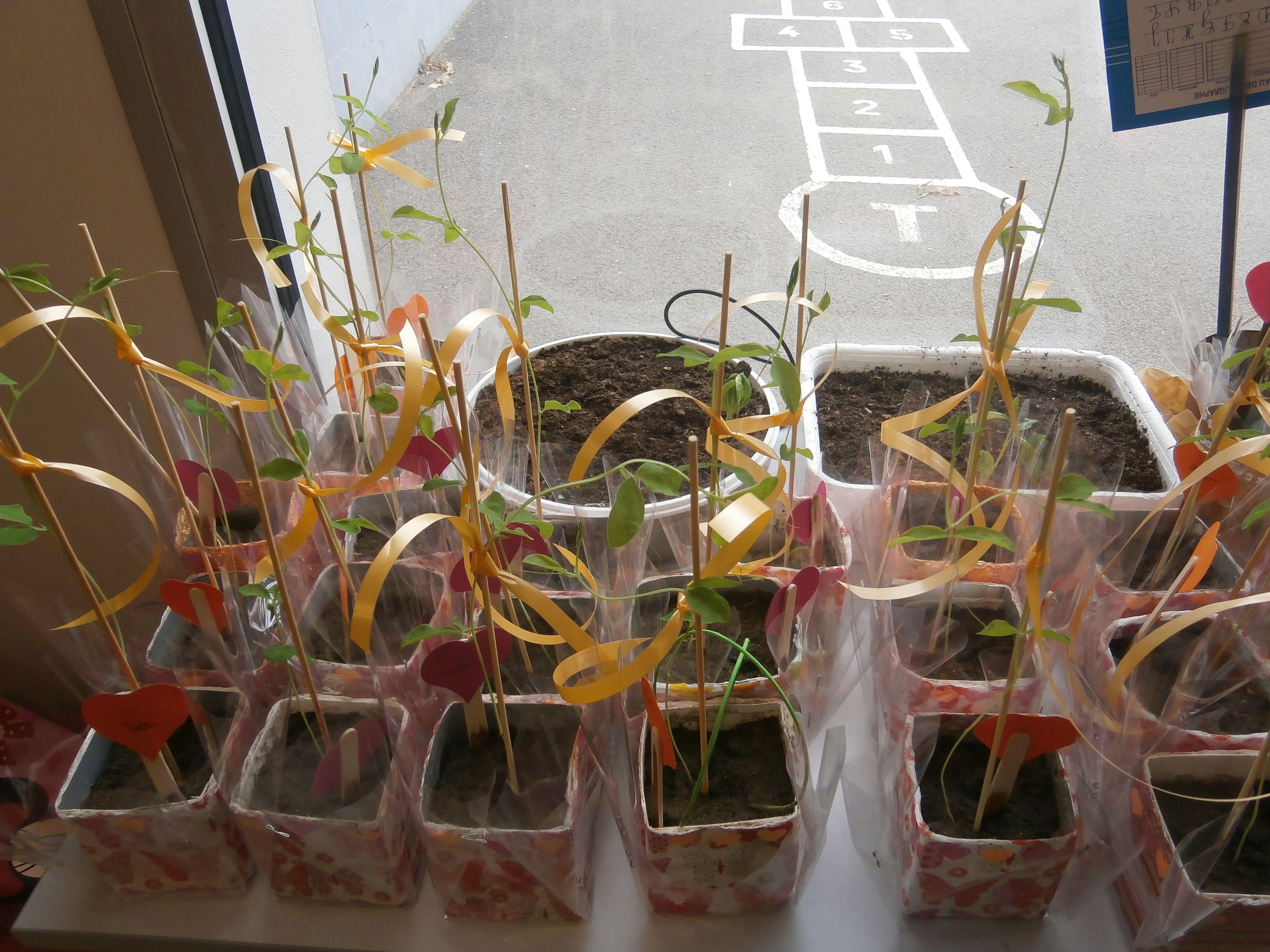 Graines De Fleurs Qui Poussent Très Vite de la graine à la plante | jardinage maternelle, blé