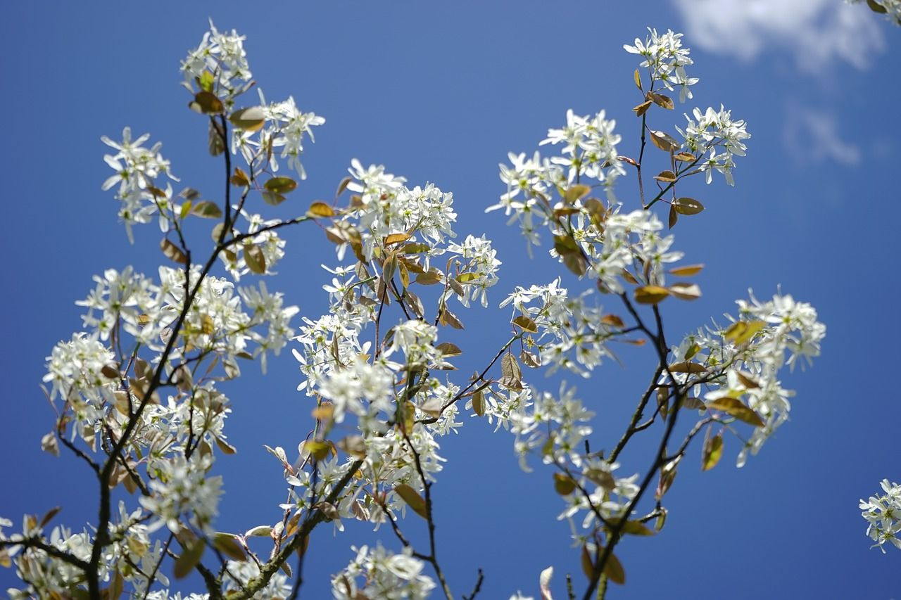 Serviceberry Tree Has White Flowers In The Spring Berries In The