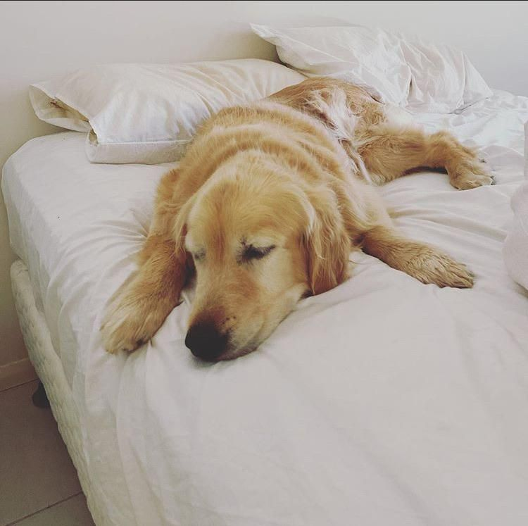 Jack Having A Lazy Sunday Morning Snooze Goldenretrievers In