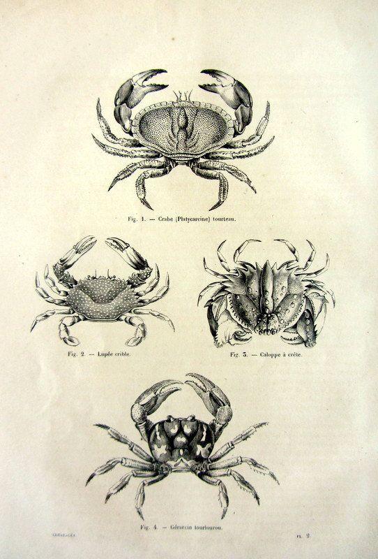 1860 Antique engraving of Crabs, original vintage sea life ...