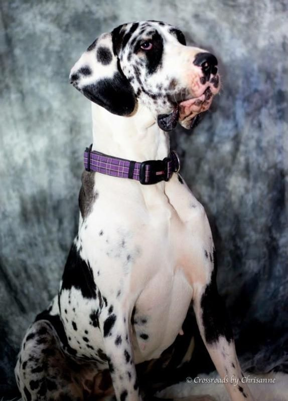 Adopt Paisleigh On Petfinder Harlequin Great Danes Great Dane Great Dane Dogs