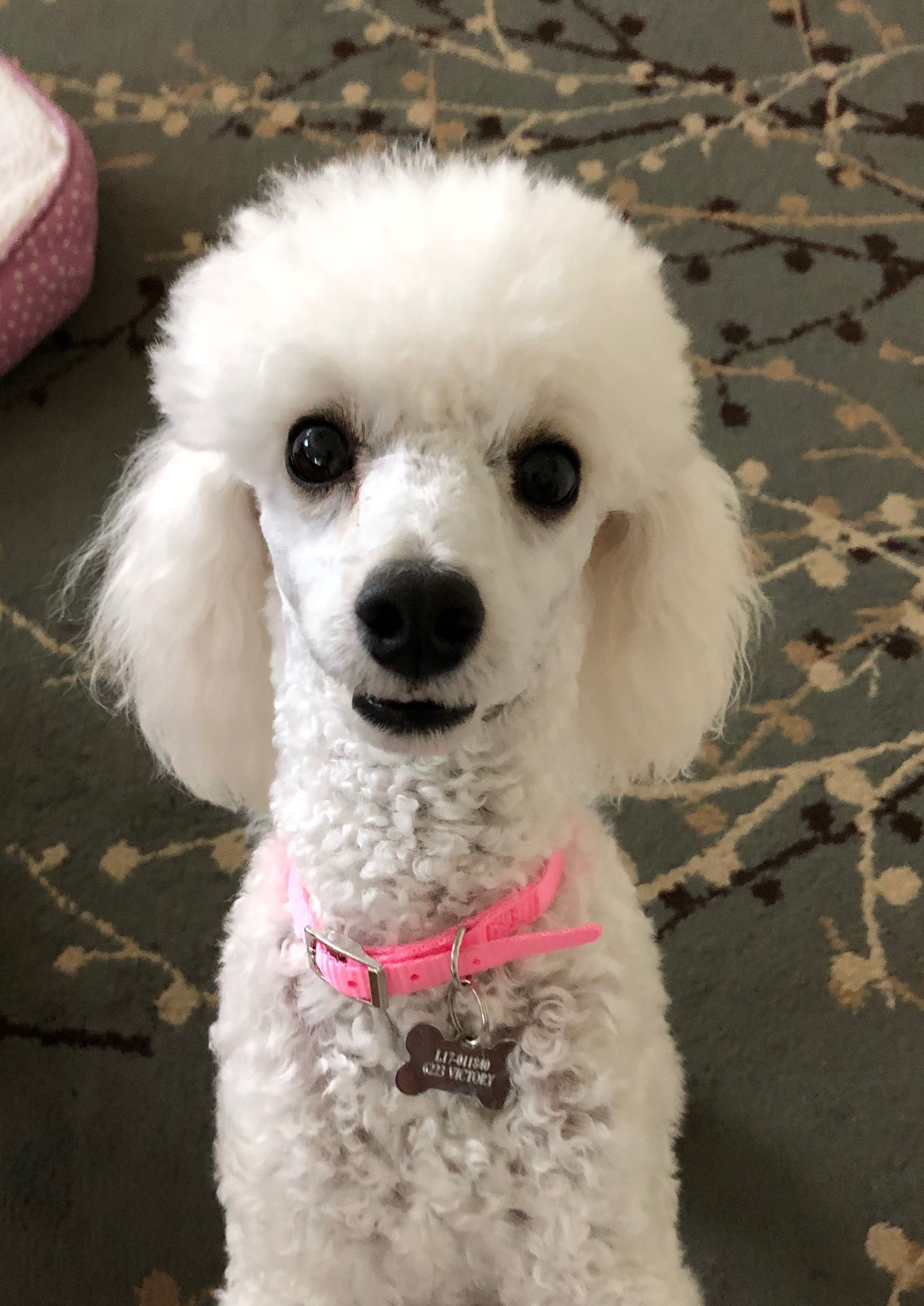 Precious Jolie May 3 2018 Poodle French Poodles Cute Animals