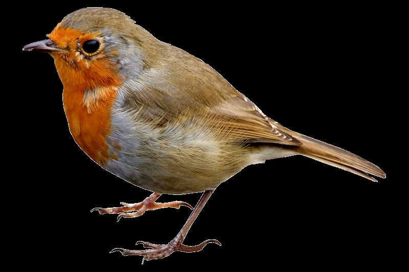 Birds Png Images Free Download Birds Png Bird Birds Pet Birds