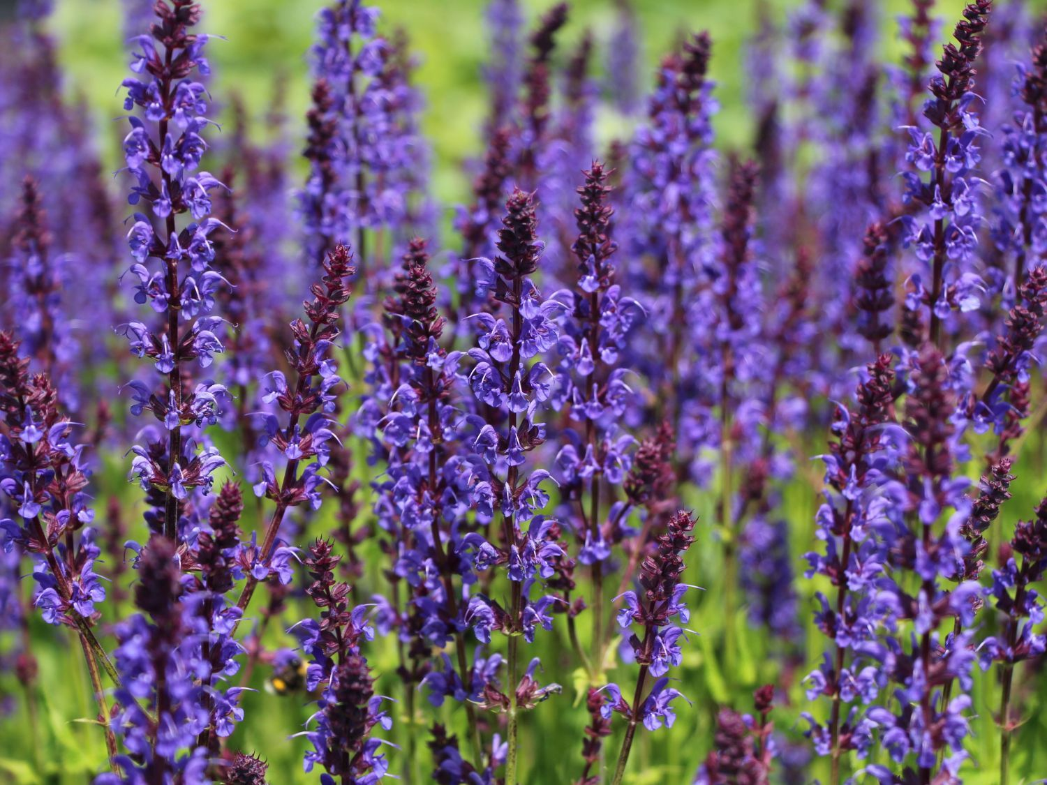 bl ten salbei 39 mainacht 39 salvia nemorosa 39 mainacht 39 frischluft pinterest salvia and plants. Black Bedroom Furniture Sets. Home Design Ideas