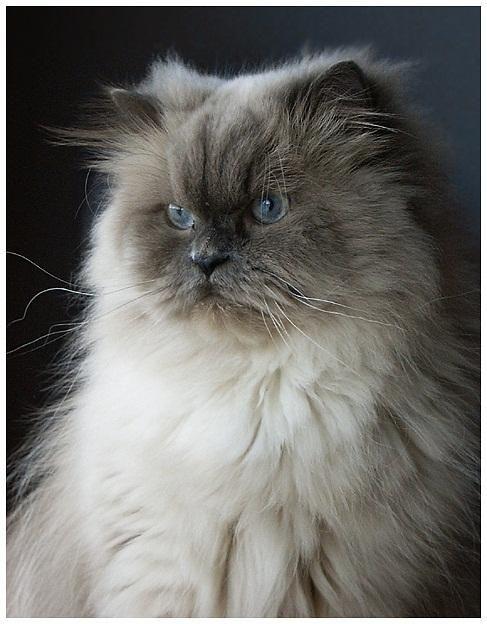Blue Point Ragdoll Cat By Victoria Cats Pretty Cats Ragdoll Cat