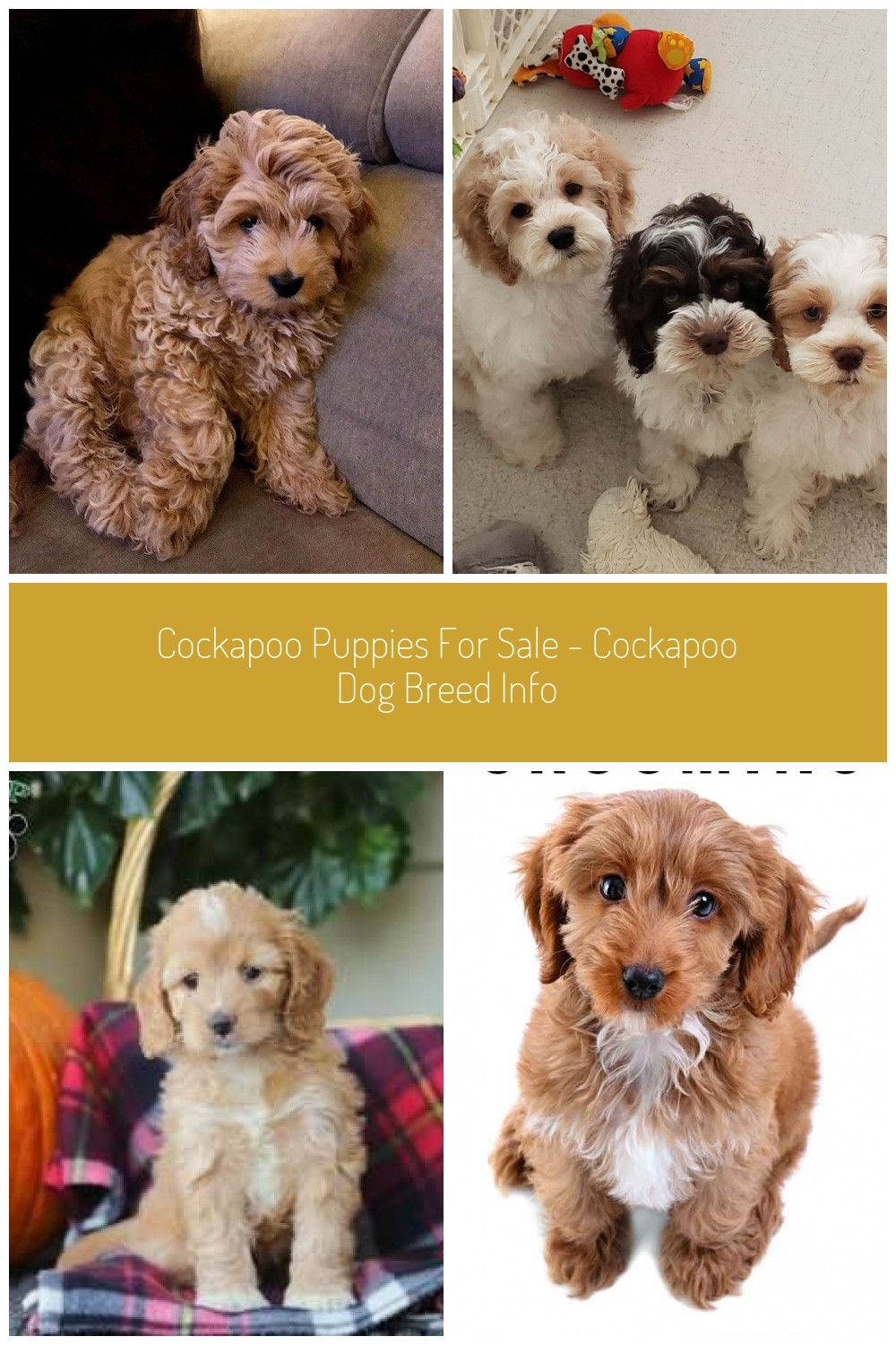 Cockapoo cece_the_cockapoo Cockapoo, Puppies, Dogs