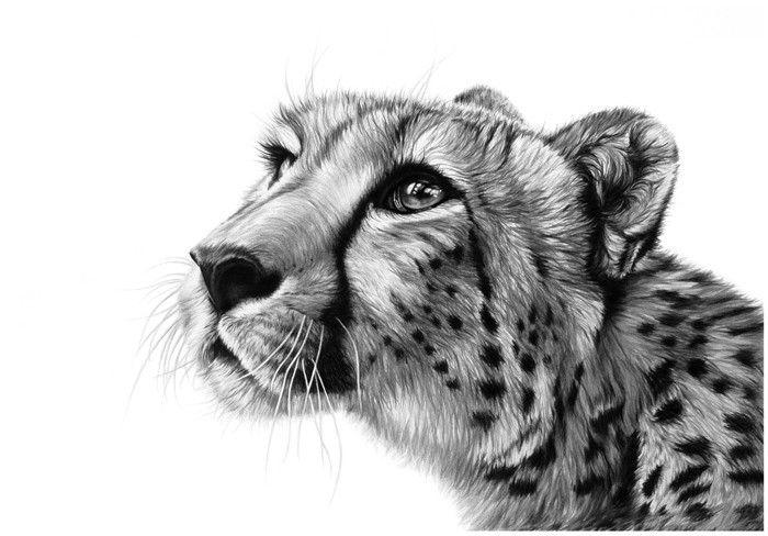 Cheetah Pencil Drawing Wildlife Fine Art Drawing By Richard Symonds Cheetah Drawing Wildlife Art Big Cats Art