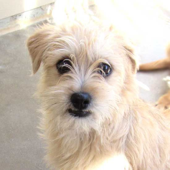 New Mexico Is A Five Month Old Blonde Terrier Blend Beauty He S Waiting To Find A Forever Home In San Diego Puppy Adoption Dogs Puppies