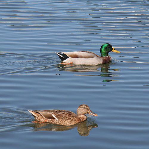 Nesting Wild Mallards In My Backyard Pool: Mallards (Seen At Cambridge, MD; Alligator River NWR