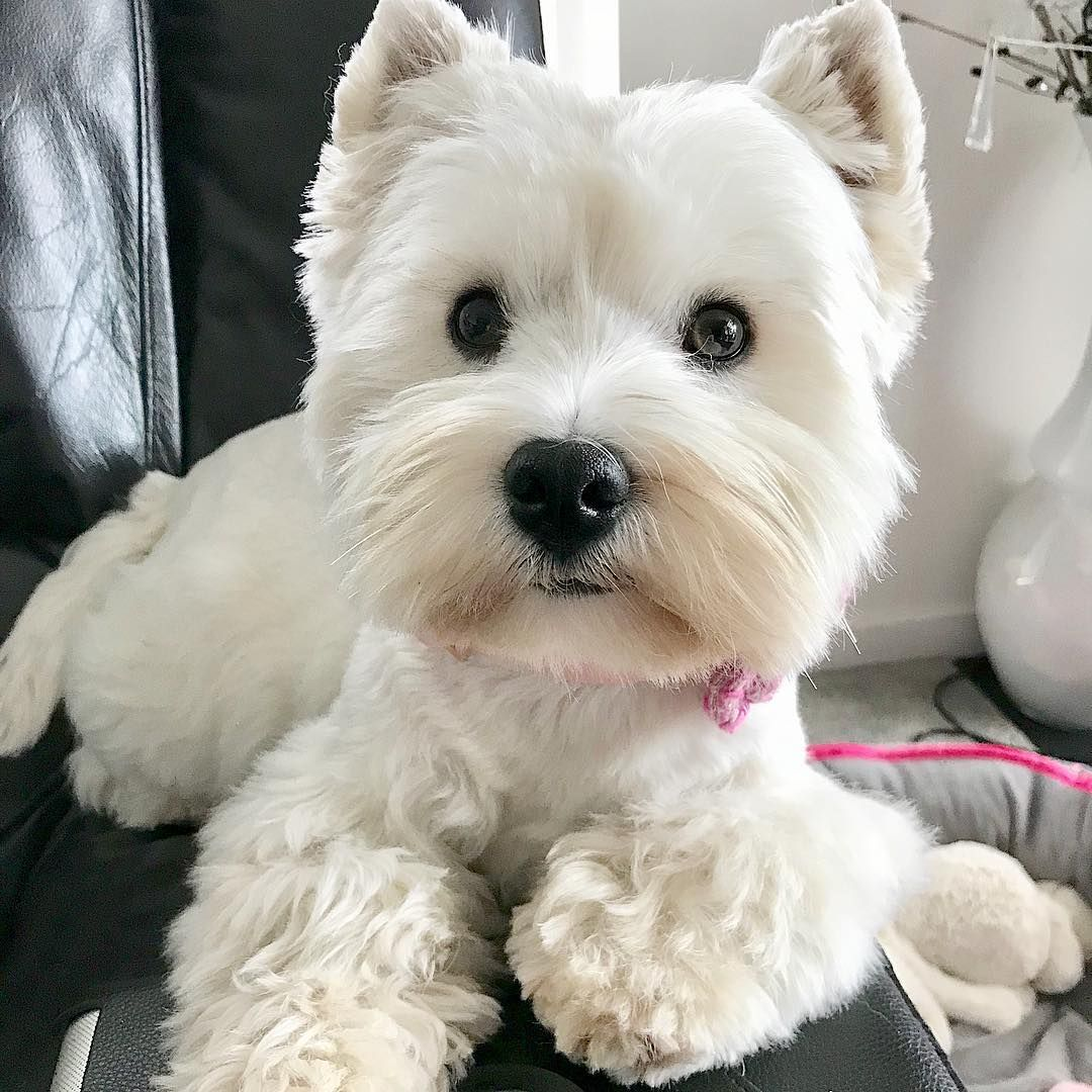 Nancy's Westies - Donella's Litter of Westie Puppies for Sale New Mexico USA