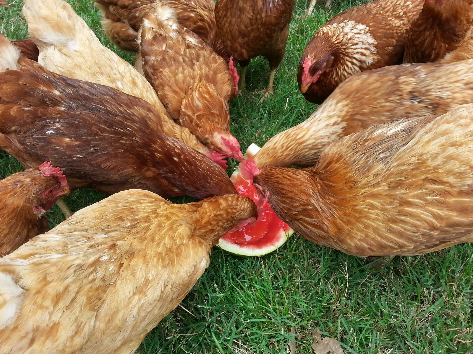 can chickens eat watermelon skin
