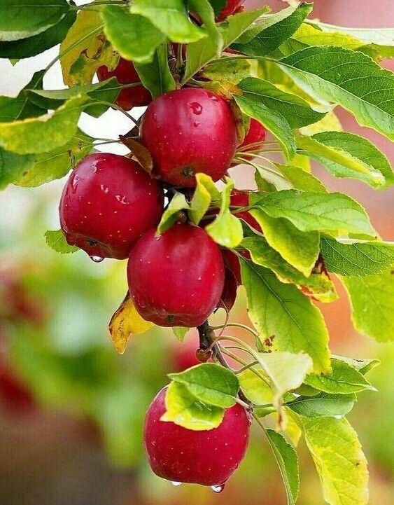 АВГУСТ..... в 2020 г | Экзотический фрукт, Фруктовые ...  Фруктовый Сад Обои