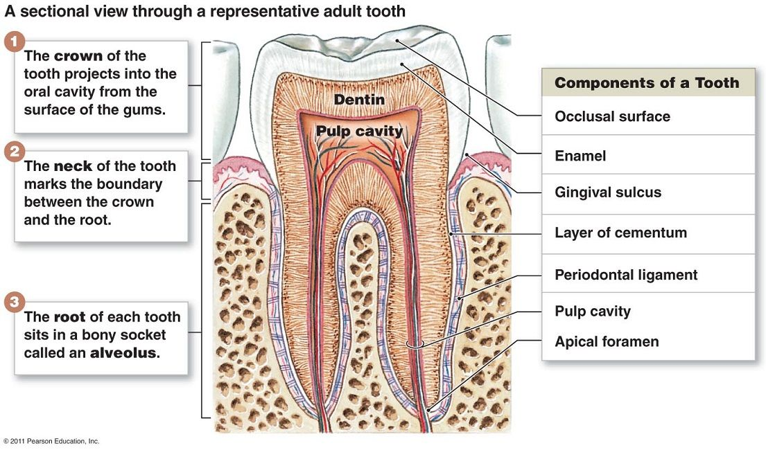 Structure Of Teeth With Diagram Dental Pinterest Diagram