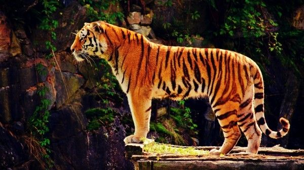 Cute Stitch On Side Wallpaper Tiger Standing Side View Tiger Wallpaper Tiger Pictures
