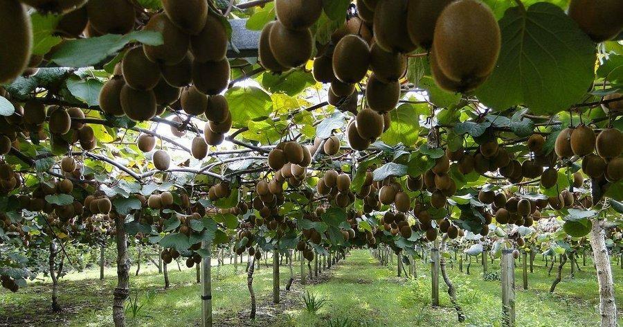 C mo cultivar los mejores kiwis en casa mis hierbas huerto jardiner a y cultivar - Como plantar arboles frutales ...