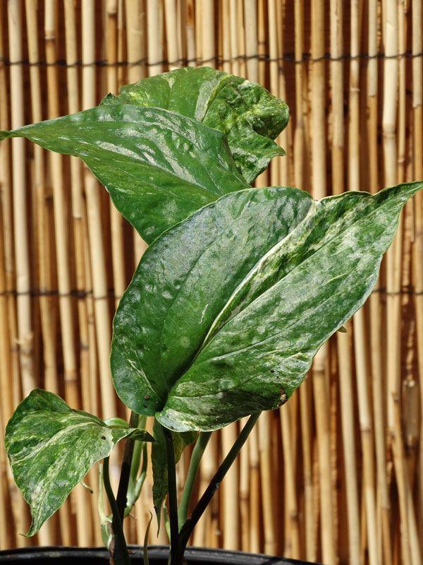 """Rhaphidophora Philippine Variegated Plant in 2x2x7"""" Pot"""