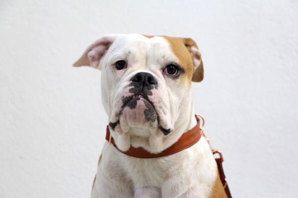 Ap S Chrome Conti Haustiere Tiere Hunde