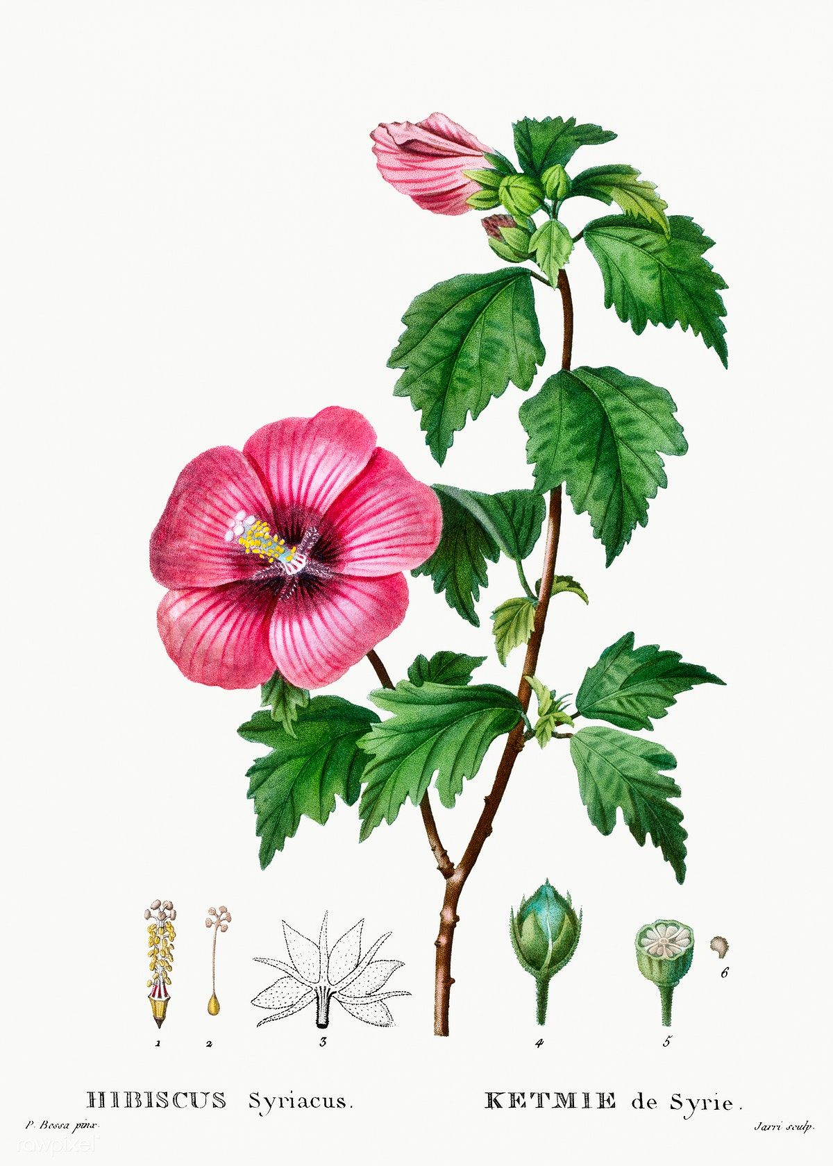 Rose of Sharon (Hibiscus syriacus) from Traité des Arbres
