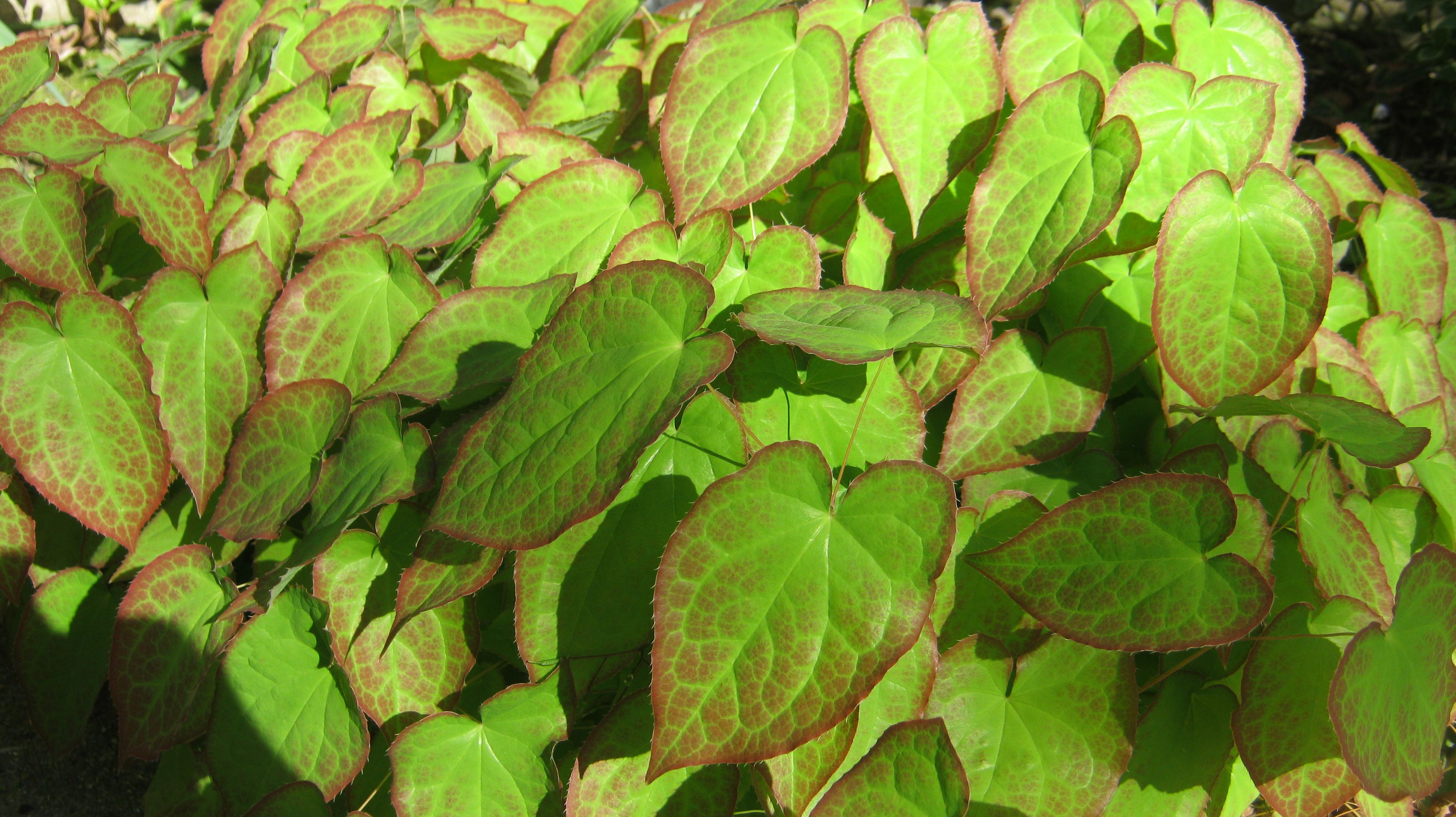 Epimedium also known as horny goat weed this splendid perennial epimedium also known as horny goat weed this splendid perennialgroundcover mightylinksfo