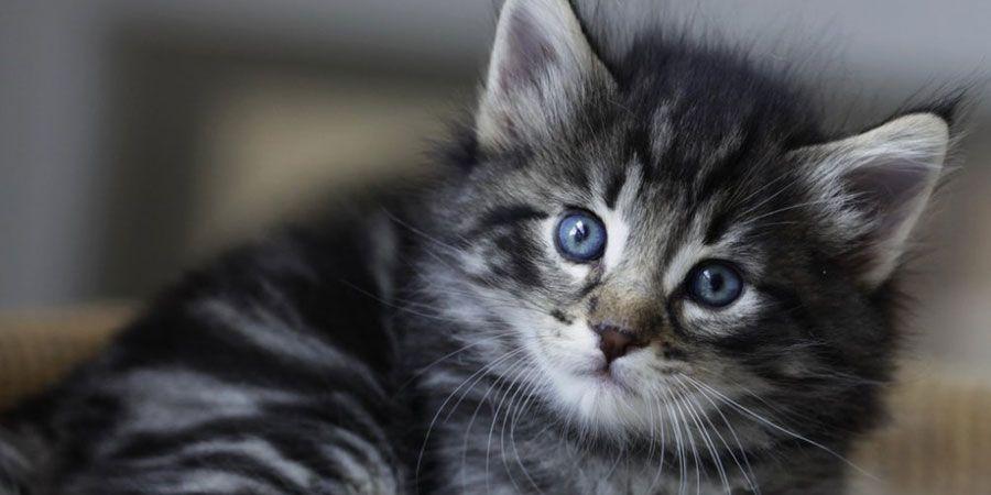 Norwegian Forest Cat Kittens Price Norwegian Forest Cat