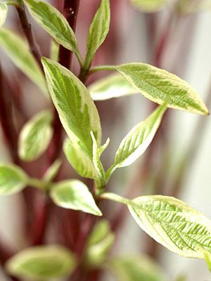 Variegated Red Twig Dogwood This Shrub Looks Great All Year With Green And White Foliage In Summer And Bright Red Twig Red Twig Dogwood Twig Dogwood Plants