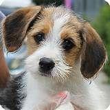 Wire Haired Fox Terrier Puppy Beagle Mix Puppies Fox Terrier