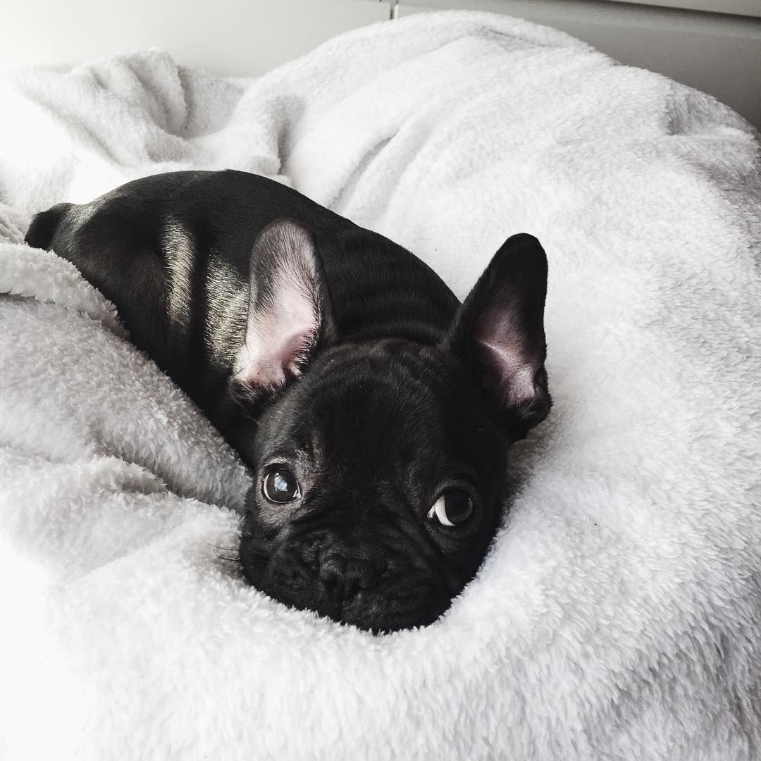 Pin By Christie Moore On Frenchie Love Cute Animals Animals