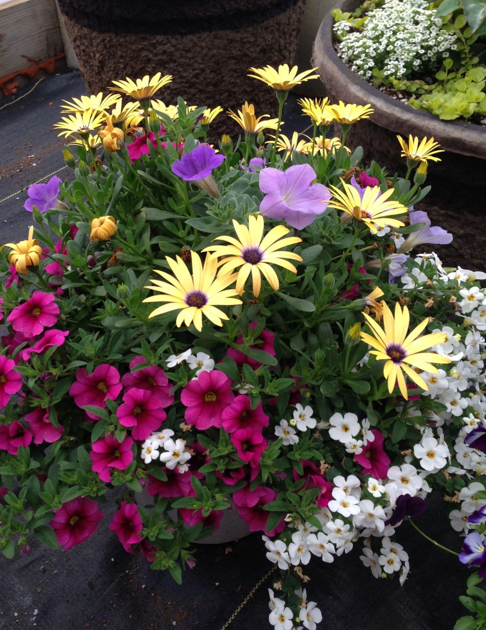 Beautiful Power Flowers Container Yellow Osteospermum Sky Blue
