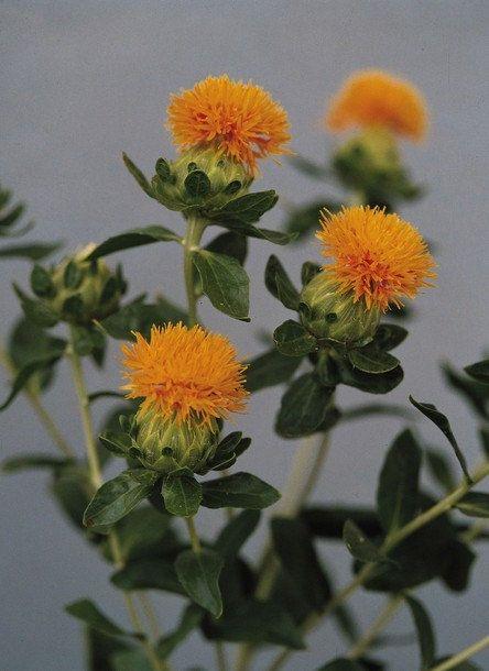 Carthamus Tinctorius Safflower: Safflower Saffron Carthamus Tinctorius Yellow By