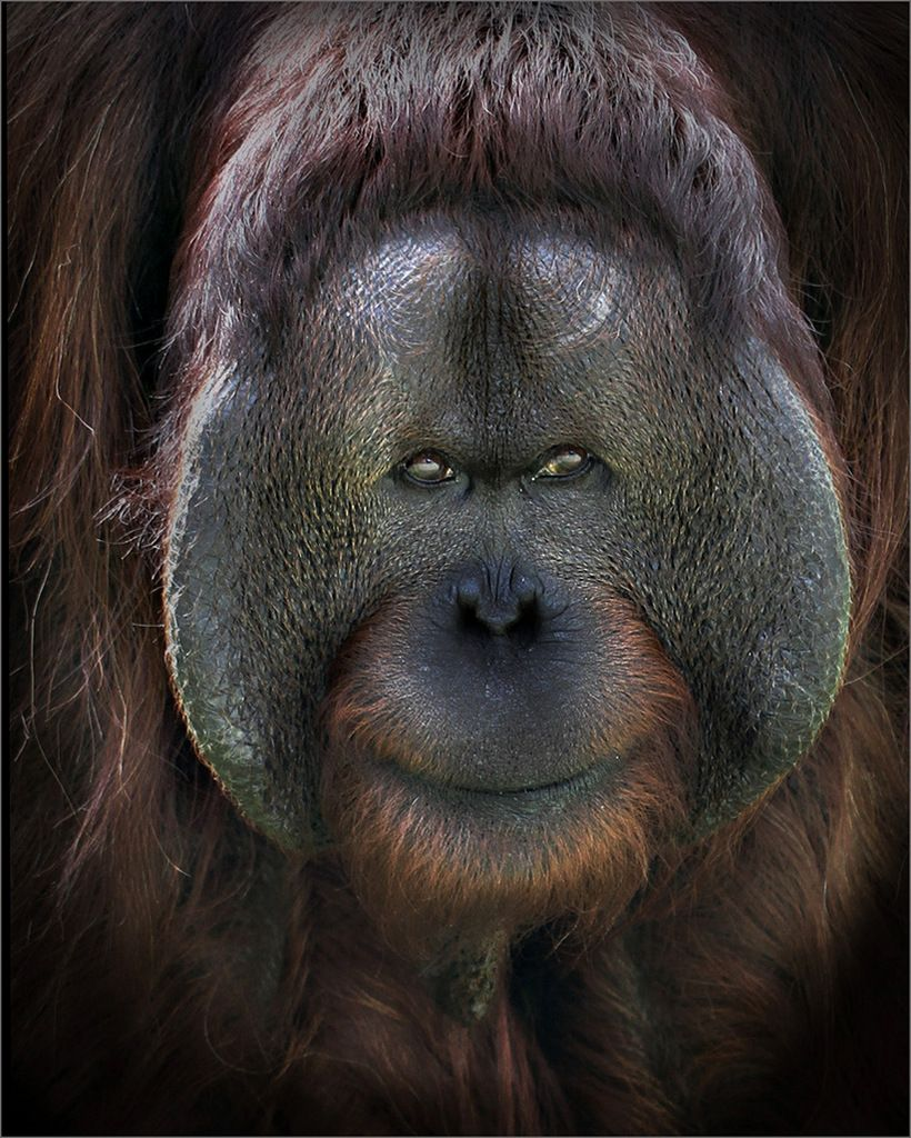 Smiling orangutan