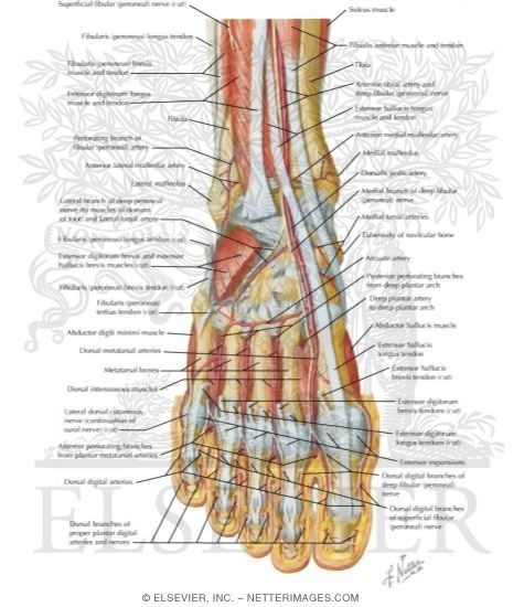 Ankle Anatomy Muscles Have You Ever Heard About Working Online