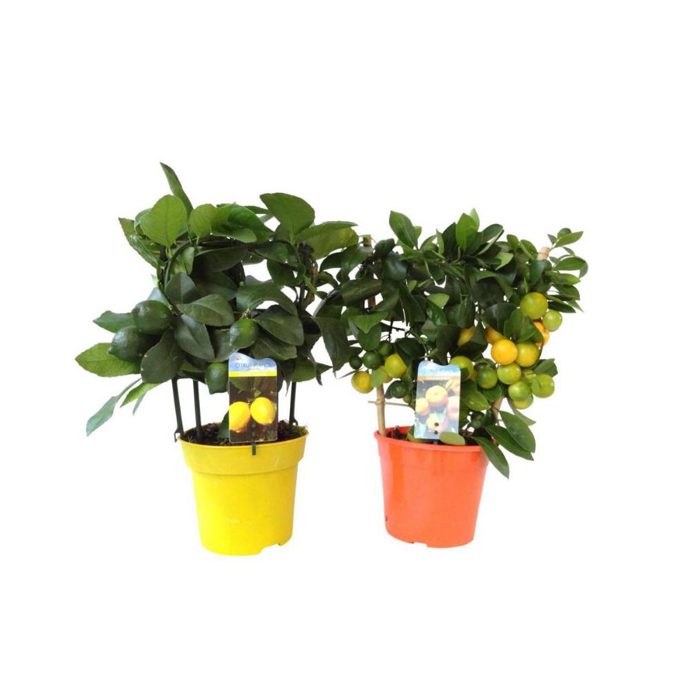 Cytrus Mix 60 65 Cm Kwiaty Doniczkowe W Atrakcyjnej Cenie W Sklepach Leroy Merlin Planters Planter Pots Pot