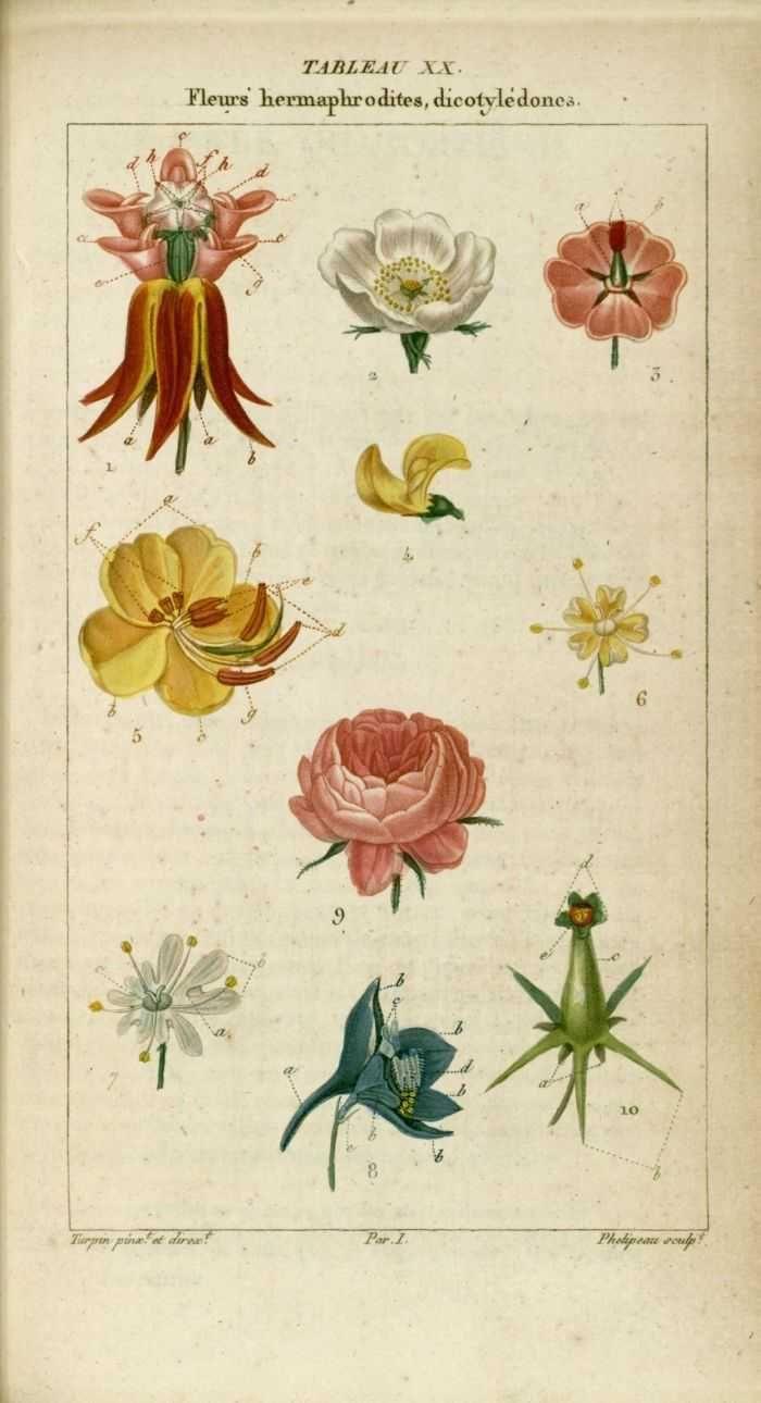 Fleurs Hermaphrodites Dicotyledones Dessins Gravures En