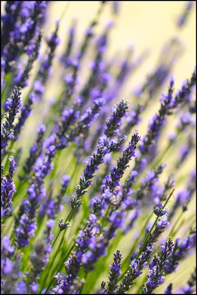 Lavender S Medicinal And Aromatherapy Uses Chestnut School Of Herbal Medicine Herbalism Lavender Medicinal Plants