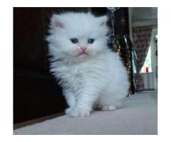 Beautiful Kittens In White And Black Color Long Hair For Sale In