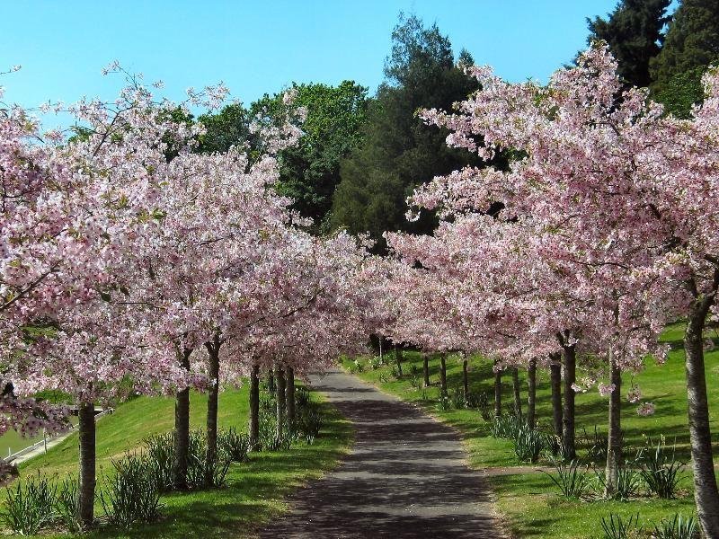Flowering Cherry Tree Nz Google Search Tree Seeds Flowering Cherry Tree Dream Garden