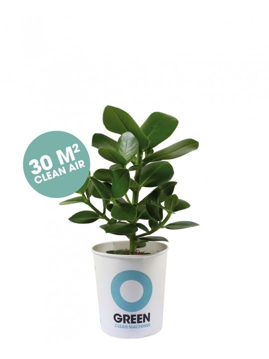 clusia rosea top zuiverend plantje slaap kindje. Black Bedroom Furniture Sets. Home Design Ideas
