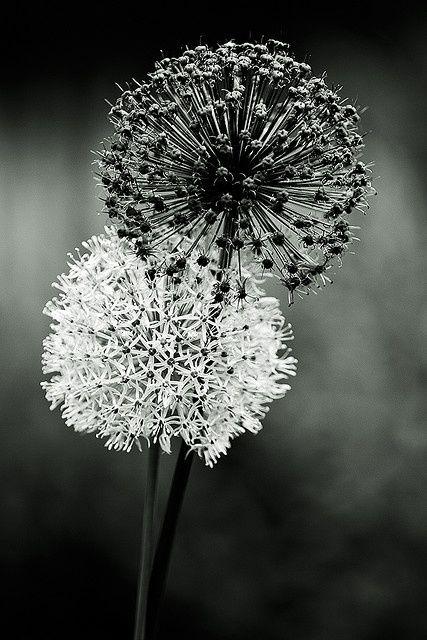 Blumenbilder Schwarz Weiß black white pusteblume weiße fotografie