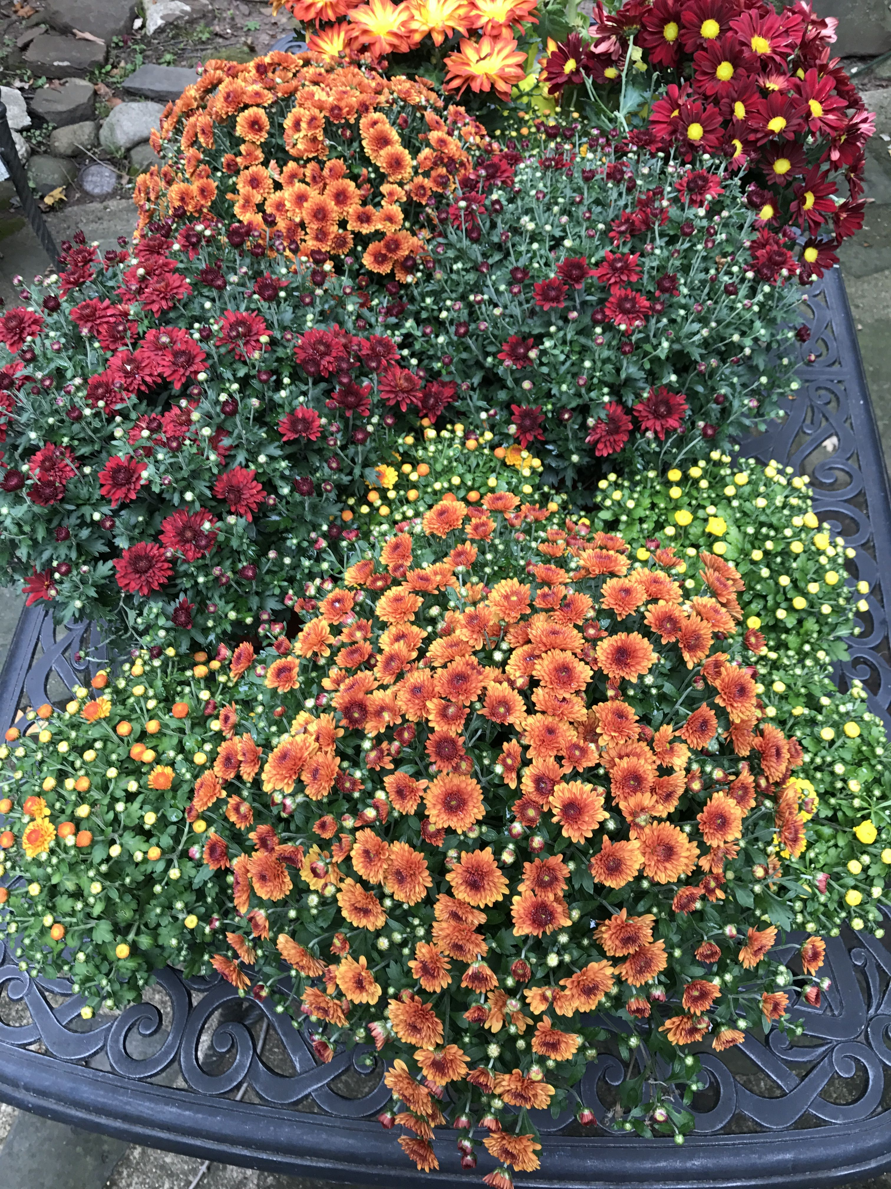 Fall is just around the corner when the mums start to