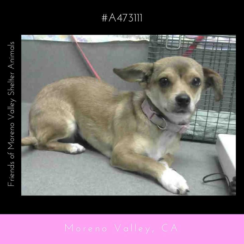 Chiweenie Dog For Adoption In Seattle Wa Adn 552364 On Puppyfinder Com Gender Female Age Young Chiweenie Dogs Dog Adoption Animal Shelter