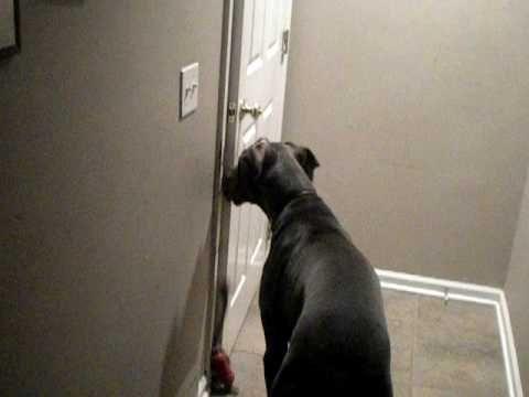 Great Dane opening door = they are soooo smart!!!