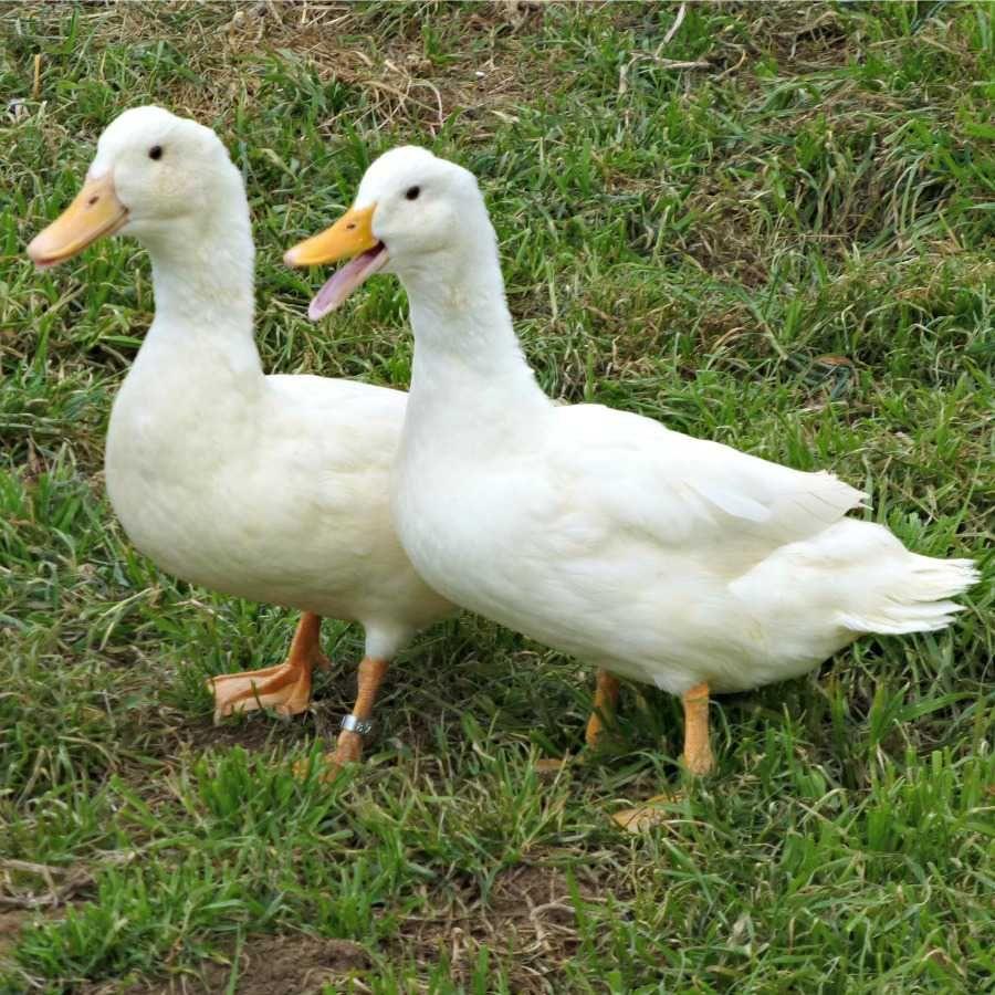 Jumbo pekin ducklings pekin duck and animal nvjuhfo Image collections